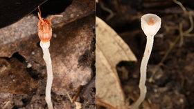 Olomoučtí přírodovědci objevili nejmenší hvězdnatku na Borneu. Má jen několik milimetrů