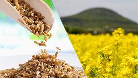 Zemědělci se radují, sklizeň obilovin bude vyšší. Ale řepky bude méně než loni