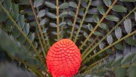 Jedinečná nádhera v botanické zahradě: 20letý cykas se poprvé vybarvil