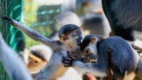 Miminka nejkrásnějších opic světa dostala unikátní jména: V Zoo Chleby pokřtili languří kluky