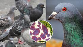 Papouščí nemoc, tuberkulóza a hrozba těhotným: Městští holubi přenášejí nebezpečné infekce