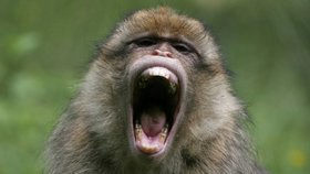 Opice infikované smrtícím herpesem utekly z parku a děsí obyvatele Floridy