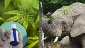 """Vystresovaní sloni v zoo dostanou na uklidnění marihuanu. """"Tráva"""" jim podle vědců chutná"""