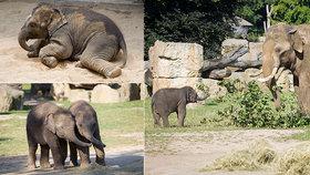 Sloní princezny v Zoo Praha oslaví půl roku: Plavání, potápění i bahenní lázeň!