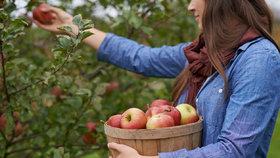 Jablka z vlastní úrody. Víte, jak je správně uskladnit?