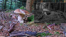 Živý přenos z lesa má novou hvězdu! Rychle se podívejte, než hříbek zase seberou!