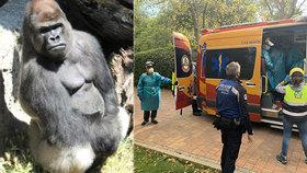 Chovatelku v zoo brutálně zřídil gorilí samec: Žena skončila v nemocnici, zvíře uspali