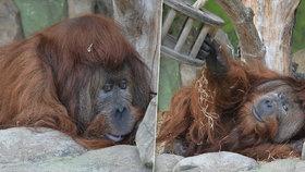 Narozeniny v ústecké zoo: Orangutan Ferda se dožil úctyhodného věku