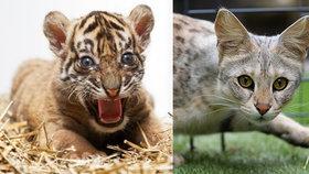 Objednali si na internetu roztomilé koťátko: Přišlo jim mládě tygra!