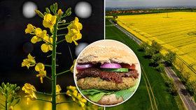 """Budeme jíst burgery z řepky? Žlutá pole skrývají """"nálož"""" bílkovin, říká odborník"""