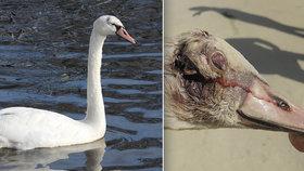 Zázračné uzdravení: Mladá labuť z Rokycanska se vykřesala z děsivého zranění hlavy