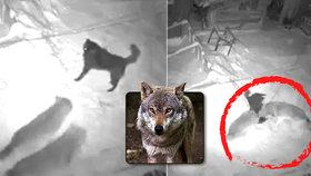Panika v Beskydech: Vlci zardousili psa uvázaného u boudy! Ochránci uklidňují