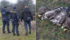 Na Klatovsku našli čtyři mrtvé orly mořské: Úmyslná otrava?!