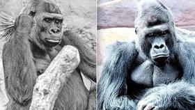 Posmutnělá pražská zoo: Gorily truchlí za Bikiru (†26). Nesvůj je hlavně její druh Richard