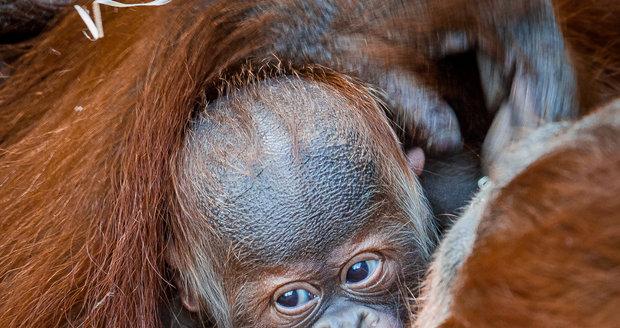 Sameček orangutana sumaterského, který se narodil letos 17. listopadu, dostal jméno Pustakawan.