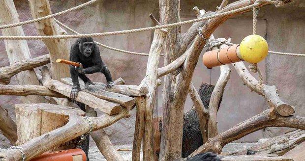 Nejmladší samec gorily nížinné vZoo Praha Ajabu se svým otcem samcem Richardem.