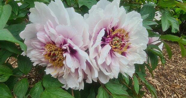 Květy pivoněk mají nespočet barev a tvarů.