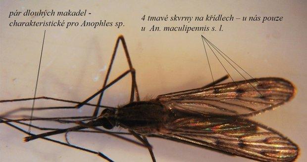 Komár čtyřskvrnný žije u nás ve čtyřech těžce rozlišitelných druzích. Není příliš hojný, ale je u nás hlavním přenašečem malárie. Rozmnožují se ve vodních nádržích s bodními rostlinami. Aktivní jsou hlavně v noci.
