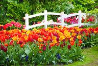 Dvě kostky ledu pro tulipány? Jak na holandské květiny, radí odborník z pražské Troji