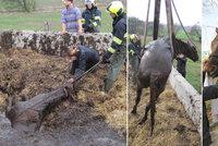 Kůň utekl ze stájí a uvízl v septické jámě! Zachránit ho museli hasiči