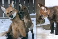 Přírůstek v hodonínské zoo čeká na návštěvníky: Zatím vlčí rošťák pokouší rodiče