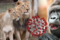Gorilí celebrita Richard má koronavirus! V Zoo Praha se nakazilo několik zvířat