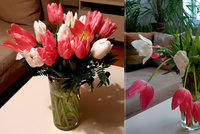 Proč tulipány vyrostou ve váze až dvojnásobně? A jak se o ně správně starat?