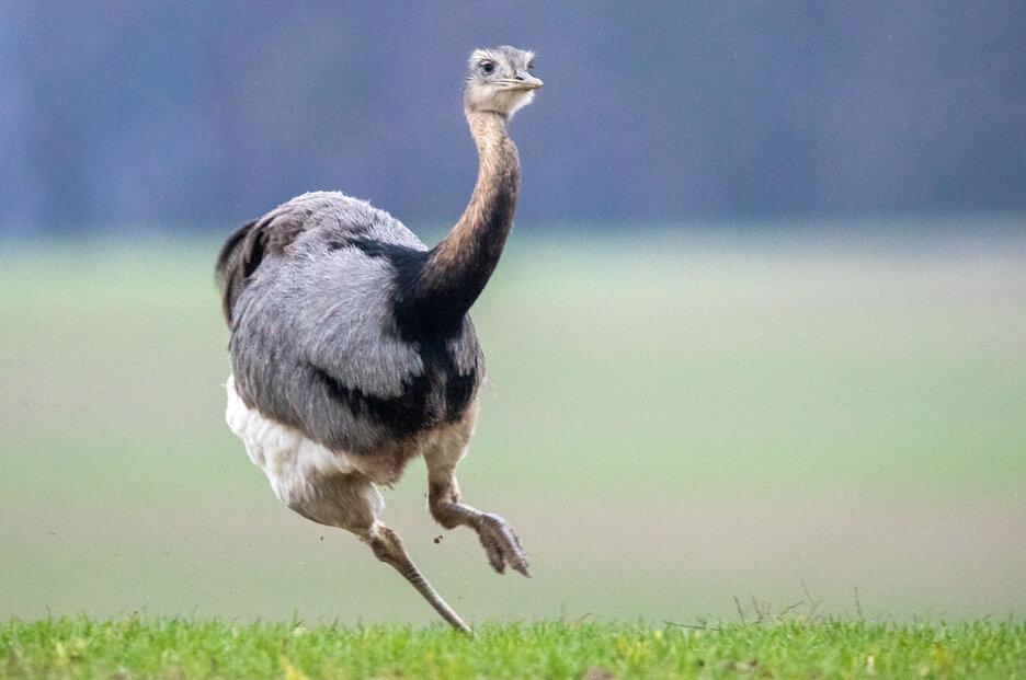 Nandu pampový se v Německu přemnožil a ničí řepková pole. Nanduové jsou od přírody vybaveni velmi silnými nohami, které jim umožňují vyvinout vysokou rychlost.