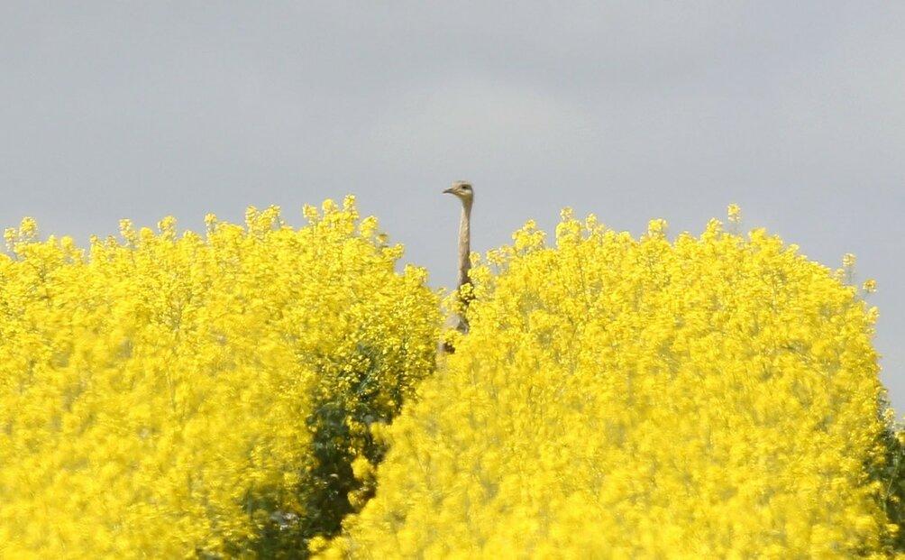 Nandu pampový se v Německu přemnožil a ničí řepková pole