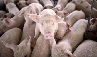 Brusel pomůže českým chovatelům krav a prasat, dostanou více než půl miliardy