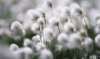 Indie zakázala vývoz bavlny, její ceny rostou