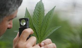 Konopí v lékárnách nebude, lékový ústav opět nesehnal dodavatele