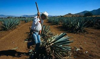 Mexiko nezvládá uspokojovat poptávku po tequile. Suroviny pro výrobu dozrávají příliš pomalu