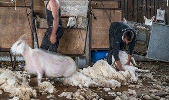Soumrak ovčí vlny. Koronavirus snížil její cenu o desítky procent, zásobám hrozí hniloba