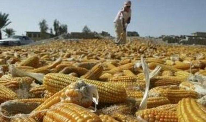 Světová produkce kukuřice bude rekordní, tlak na ceny potravin by mohl klesnout