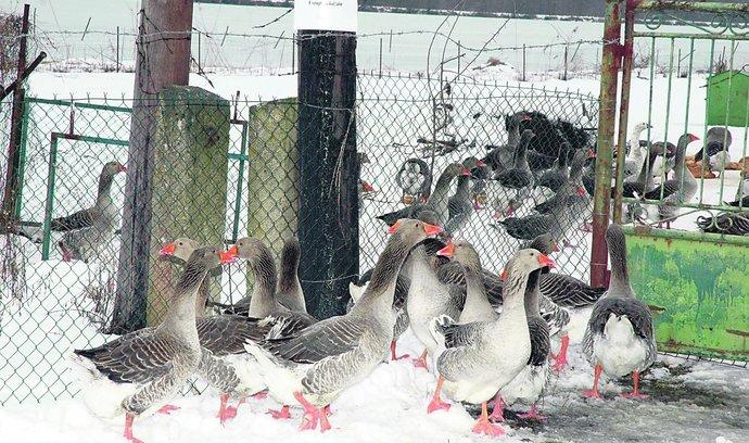 Veterináři zabijí šest tisíc ptáků kolem ohnisek chřipky