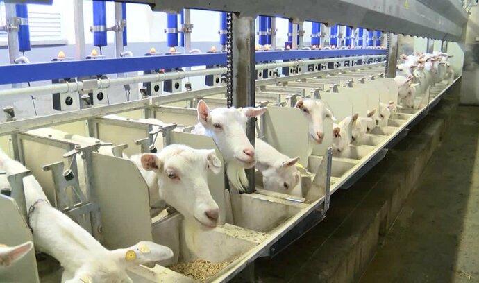 Očima E15: Kozí mléko pije víc lidí než kravské. Zpracovává se i v Česku