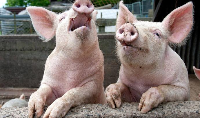 Chovatelé na Zlínsku musí kvůli moru porazit domácí prasata