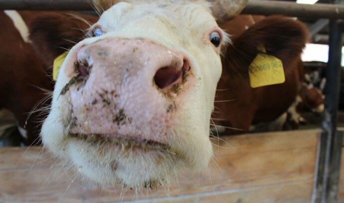 Nemocné krávy přijímala i slovenská jatka
