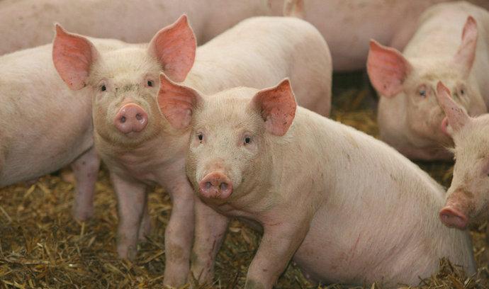 Geneticky modifikovaná prasata jsou odolná vůči smrtelnému onemocnění. Můžeme je ale jíst?