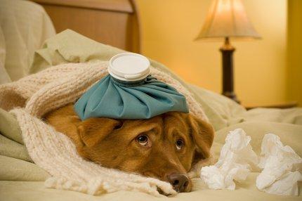 Jak poznat nemoci psů?