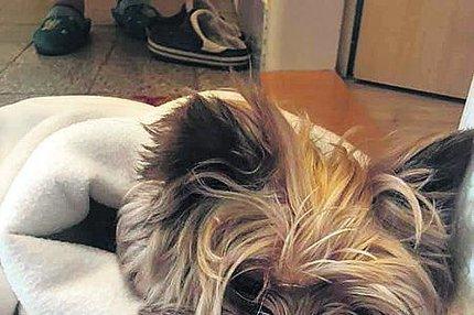 Psa se zlomeným žebrem ho odložili na chodbě: Jorkšír prodělal srdeční záchvat!