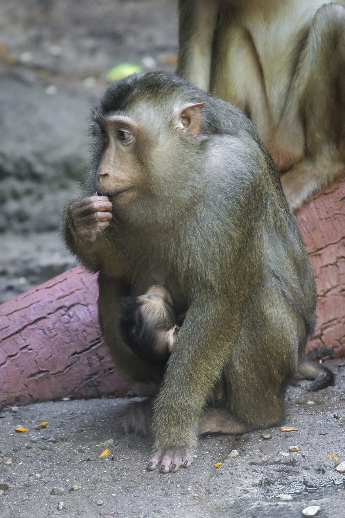 Malý makak