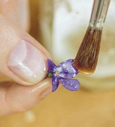 Každou fialku potřete emulzí z prášku arabská guma.