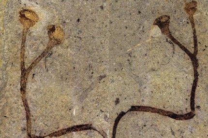 Nově objevená zkamenělina má pouhých 6 cm!
