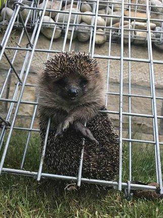 Ježek uvězněný se v kleci nemohl ani pohnout.