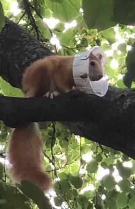 Veverka z pražského Proseka už několik dní nosí plastový obojek.