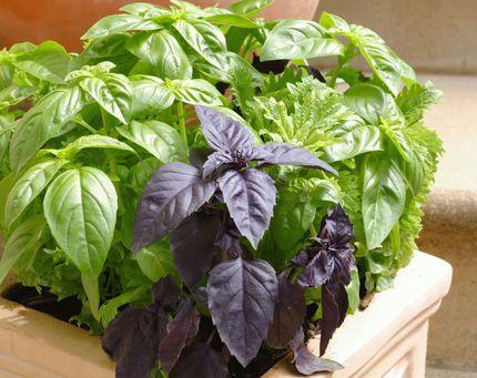 Bazalku můžete pěstovat i v městském bytě.