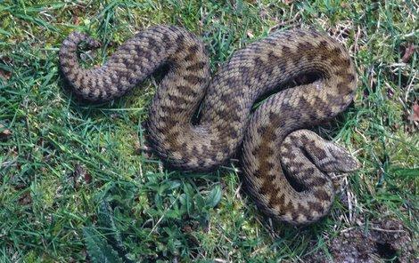 Zmije obecná – jedovatá. Samice dorůstají délky 70 až 100 cm, samci 60 cm. Bývá šedá až modrošedá s tmavou klikatou čárou na hřbetě, některé ji mít nemusejí.