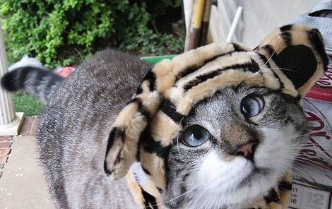 Spangles jako roztomilý tygr.
